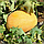 Супер ранний гибрид дыни ананасового типа Нево F1, профессиональные семена Hazera профпакет 5 000 семян, фото 2