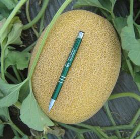 Супер ранний гибрид дыни ананасового типа Нево F1, профессиональные семена Hazera профпакет 5 000 семян