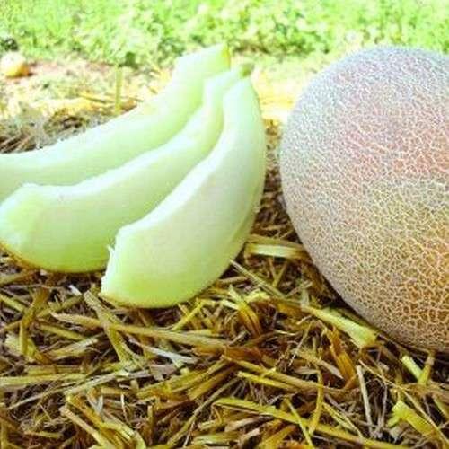Гибрид дыни Бижур F1 устойчив к фузариозу, Семена профессиональная упаковка Hazera 1 000 семян