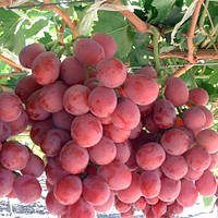 Виноград Ред Глоуб (вегетирующий)