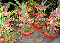 Питайя розовый кактус 1 лот 10 семян