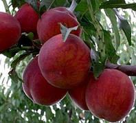 Саджанці персика ЛАУРОЛ пізнього терміну дозрівання (дворічний), фото 1