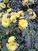 Хризантема садовая жёлтая, фото 3