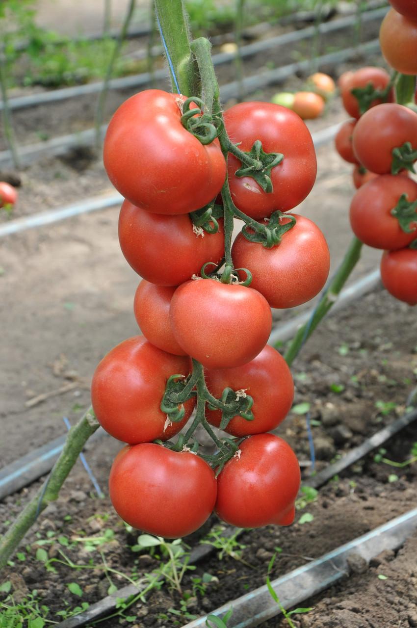 Семена томата Пинк Джаз F1, Hazera 500 семян | профессиональные