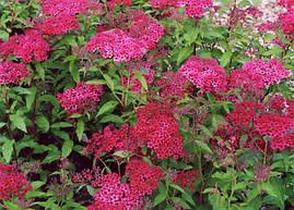 Спірея японська Dart's Red 3 річна, Спирея японская Дартс Ред, Spiraea japonica Dart's Red, фото 2
