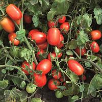 Семена томата Калиста F1, Hazera 1 000 семян, фото 1