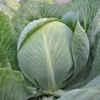 Семена Гибрид поздней капусты Раменос  F1, Hazera 2 500 семян (калибр) для длительного хранения, профупаковка, фото 1
