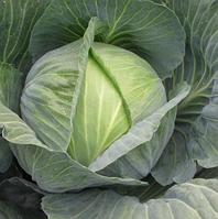 Сати F1 - семена капусты белокочанной, Hazera - 10 000 семян (калиброванные)