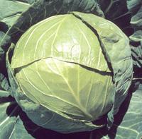 Балбро F1 - семена капусты белокочанной, Hazera - 2 500 семян