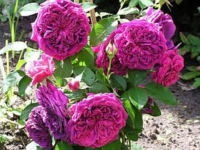 Роза Фальстаф (Falstaff) Анг., фото 2