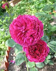 Роза Фальстаф (Falstaff) Анг., фото 3