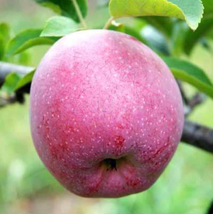 Саджанці яблуні Флоріна (Florina)