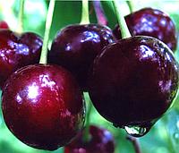 Саджанці вишні Шоколадниця, фото 1