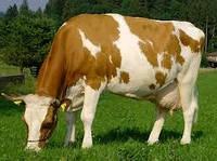 БВМД для коров (10%)