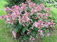 Гортензия метельчатая Dharuma (Дарума)