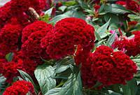 Насіння квітів Целозія гребінчаста бордова, 50г, фото 1
