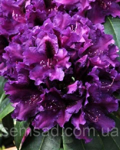 """Рододендрон """" Азурро """" ( саженцы 2 года ЗКС )  Rhododendron   Azurro"""