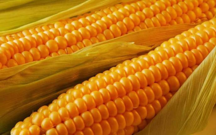 Семена кукурузы Гран DN Argo (ФАО 250), фото 2