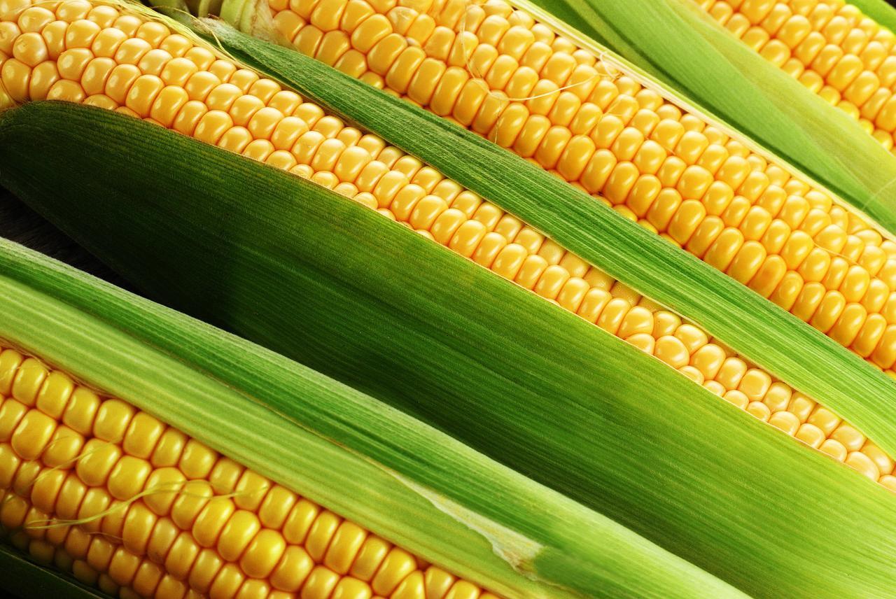 Семена кукурузы Гран DN Ruta (ФАО 280)