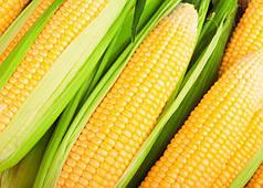 Семена кукурузы Гран LG 3255 (ФАО 250)