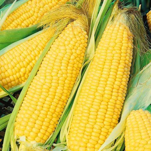 Семена кукурузы Гран Аргентум (ФАО 250)