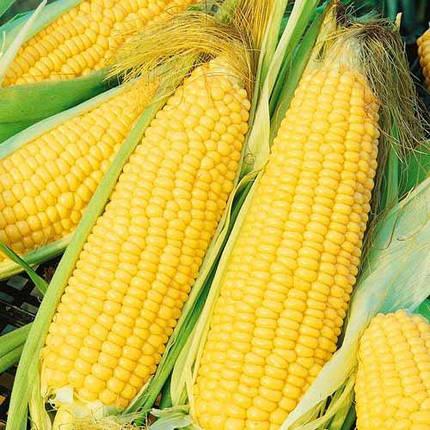 Семена кукурузы Гран Аргентум (ФАО 250), фото 2