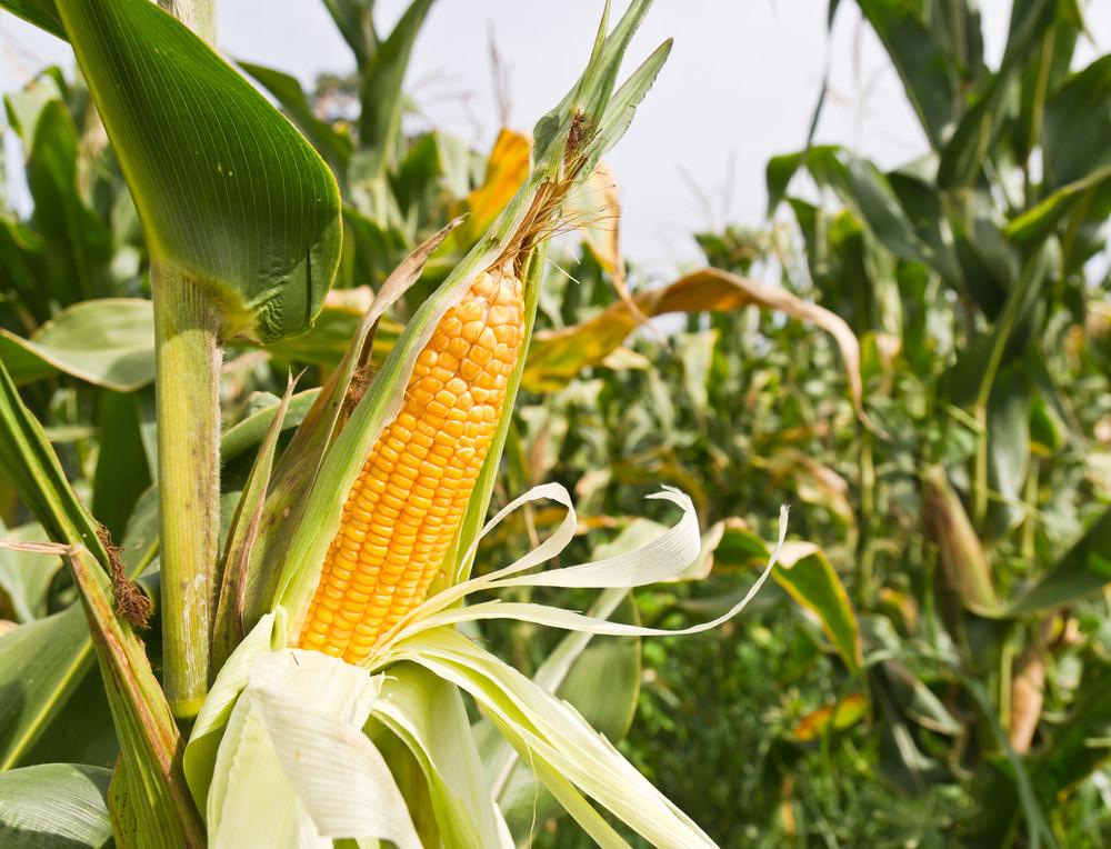 Семена кукурузы Гран Вакула (ФАО 250)