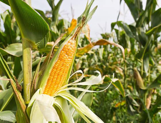 Семена кукурузы Гран Вакула (ФАО 250), фото 2