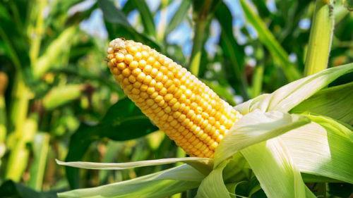 Семена кукурузы Сады Украины НС 2040 (ФАО 350)