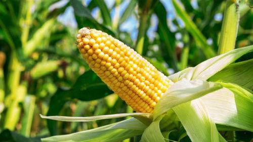 Семена кукурузы Сады Украины НС 2040 (ФАО 350), фото 2