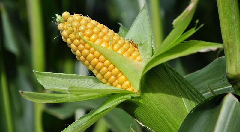 Семена кукурузы Сады Украины НС 2662 (ФАО 280)