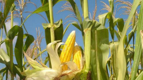 Семена кукурузы Сады Украины НС 3022 (ФАО 350)