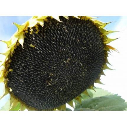 Семена подсолнуха Mirasol Seed Гіперсол (А-F), фото 2