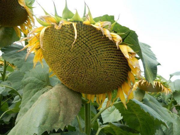 Семена подсолнуха Mirasol Seed Кастело (А-G)