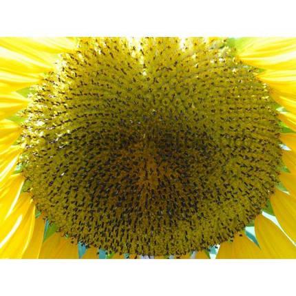 Семена подсолнуха Seed Grain Талса (A-E), фото 2