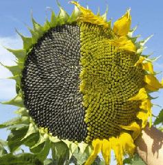 Семена подсолнуха АнастасІя ЛМР