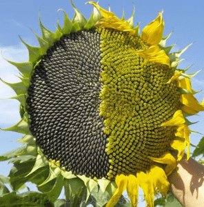 Семена подсолнуха АнастасІя ЛМР+ОР , фото 2