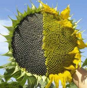 Семена подсолнуха АнастасІя ОР