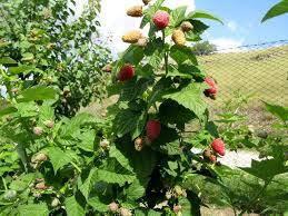 Малина Крепыш(малиновое дерево)