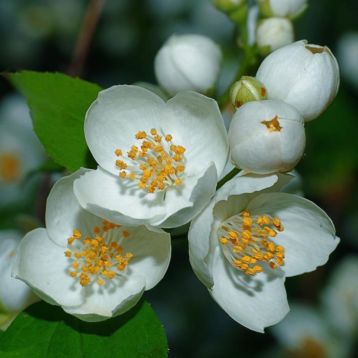 Цветов, цветки жасмина купить москва