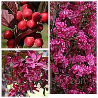 Саджанці Райської яблуні червонолисної (щеплені), фото 1