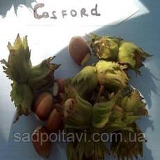 Саженцы фундук  Косфорд - отводки в конт. 1,5л /2года/, фото 2