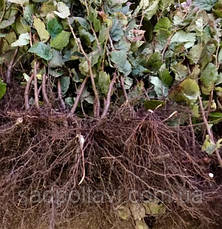 Саженцы фундук  Косфорд - отводки в конт. 1,5л /2года/, фото 3