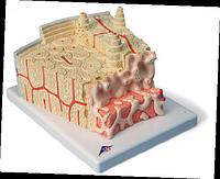 Модель структуры кости.
