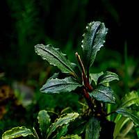 Буцефаландра / Bucephalandra sp. Brownie Apollo, отросток 5 листов.