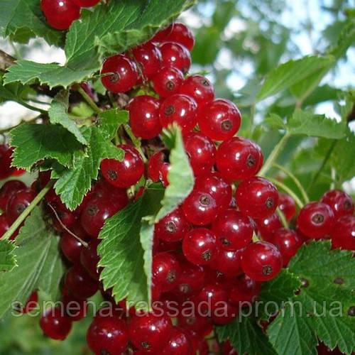 Смородина красная Улюблена  (контейнер 3 л, высота растения 30-40см)