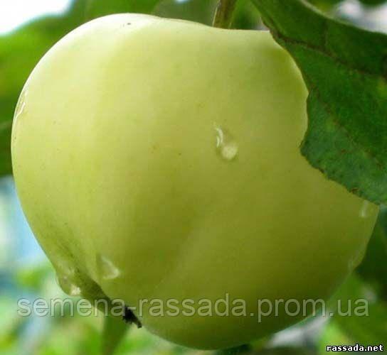 Яблоня Белый налив (ОКС, I сорт)
