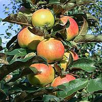 Яблоня колоновидная Останкино  (контейнер 15л, 3 года)