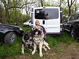 Наклейка на авто / машину Шетландская овчарка (шелти) на борту (Shetland Sheepdog On Board), фото 4