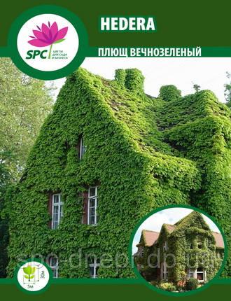 Плющ вечнозеленый Hedera, фото 2
